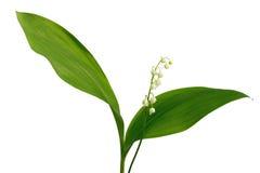 Blumenstrauß von Maiglöckchen Lizenzfreies Stockfoto