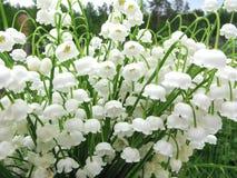 Blumenstrauß von Maiglöckchenblumen Lizenzfreie Stockbilder
