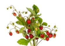 Blumenstrauß von Niederlassungen mit reifen Erdbeeren auf einem weißen Hintergrund Stockfoto