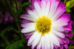 Blumenstrauß von purpurroten Blumen, Naturhintergrund Stockfotografie