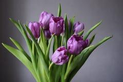 Blumenstrauß von purpurroten Tulpen auf einer neutralen Person Lizenzfreies Stockfoto