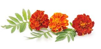 Blumenstrauß von Ringelblumen Stockbild