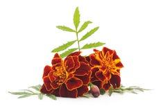Blumenstrauß von Ringelblumen Lizenzfreies Stockbild