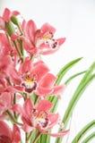 Blumenstrauß von rosa Cymbidiumorchideen Stockfotos