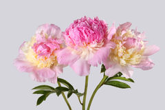 Blumenstrauß von rosa Pfingstrosen in einem Vase Stockfotografie