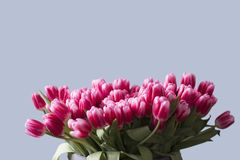Blumenstrauß von rosa Tulpen auf neutralem Hintergrund lizenzfreies stockbild
