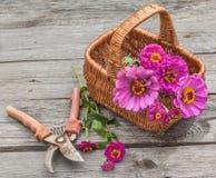 Blumenstrauß von rosa Zinnias in einem Korb Stockbilder