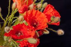 Blumenstrauß von roten Papaveren auf schwarzem Hintergrund Stockbild
