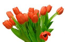 Blumenstrauß von roten Tulpen auf einem weißen Hintergrund Stockfotos