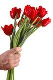 Blumenstrauß von roten Tulpen in einer Hand Stockfotos