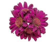 Blumenstrauß von Transvaal-Podium Stockbilder
