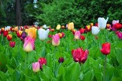 Blumenstrauß von Tulpen Bunte Tulpen Tulpen im Frühjahr, bunte Tulpe Lizenzfreie Stockbilder