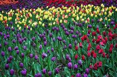 Blumenstrauß von Tulpen Bunte Tulpen Tulpen im Frühjahr, bunte Tulpe Stockbilder