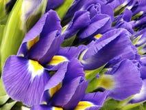 Blumenstrauß von violetten Blumen Purpurrot-gelbe Irisnahaufnahme des Gartens Ausführliche vektorzeichnung Lizenzfreies Stockbild