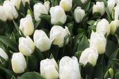 Blumenstrauß von weißen Tulpen Stockbild