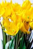 Blumenstrauß von wilden gelben Tulpen Stockbild