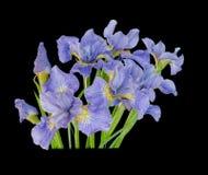 Blumenstraußirisblume lokalisiert auf schwarzem Hintergrund Stockfoto