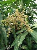 Blumenstraußmango lizenzfreie stockfotografie