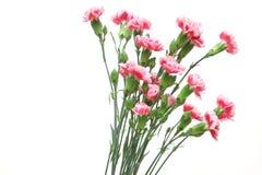 Blumenstrau? der Gartennelke in einem wei?en Hintergrund stockfotos