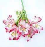 Blumenstrauß der weißen und rosafarbenen Alstroemeriablumen Lizenzfreie Stockfotos