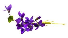 Blumenstrau? von den Veilchen lokalisiert auf wei?em Hintergrund stockfotos
