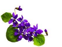 Blumenstrau? von den Veilchen lokalisiert auf wei?em Hintergrund lizenzfreie stockfotos