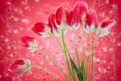 Blumenstrauß von frischen Tulpen blüht auf rotem Hintergrund Stockbilder