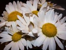 Blumenstrau? von G?nsebl?mchen lizenzfreie stockfotos