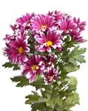 Blumenstrauß von hellen hochroten Chrysanthemen Stockfotos