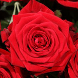 Blumenstrauß von wunderbaren roten Rosen Stockfoto