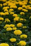 Blumenteppich Lizenzfreie Stockfotografie