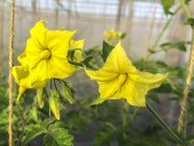 Blumentomate stockbild