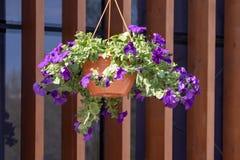 Blumentopf mit den blauen Petunienblumen, die im Sonnenlicht vom Dach des Hauses baumeln lizenzfreie stockbilder