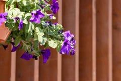Blumentopf mit den blauen Petunienblumen, die im Sonnenlicht vom Dach des Hauses mit Kopienraum baumeln lizenzfreie stockfotografie
