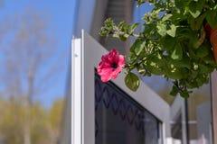Blumentopf mit den rosaroten Petunienblumen, die im Sonnenlicht vom Dach des Hauses mit Kopienraum baumeln stockfoto