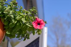 Blumentopf mit den rosaroten Petunienblumen, die im Sonnenlicht vom Dach des Hauses mit Kopienraum baumeln lizenzfreie stockbilder
