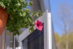 Blumentopf mit den rosaroten Petunienblumen, die im Sonnenlicht vom Dach des Hauses mit Kopienraum baumeln lizenzfreies stockbild