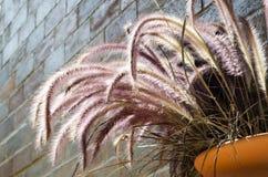 Blumentopffall auf der Backsteinmauer mit Feder Pennisetum Stockbilder