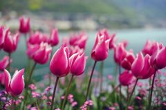 Blumentulpen-Weinlesehintergrund Schöne Ansicht von rosa Tulpen Lizenzfreies Stockfoto
