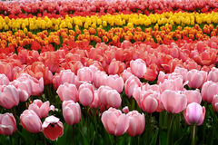 Blumentulpenhintergrund Schöne bunte Tulpen unter sunlig Lizenzfreie Stockbilder