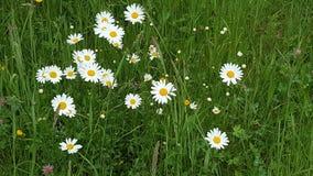 Blumenunkraut-Wiesengänseblümchen Stockbilder