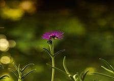 Blumenwüstenrose hat Blumenblätter geöffnet und genießt Stockbild