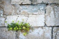 Blumenwachsen auf der Steinwand, adriatische Küste, Kroatien Stockbild