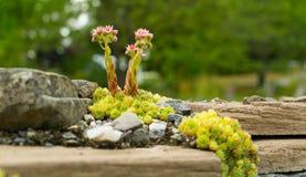 Blumenwachsen auf Steinen Stockfotos