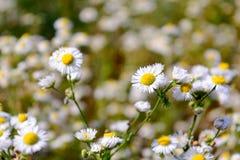 Blumenwachsen der wilden Kamille auf grüner Wiese lizenzfreie stockfotos