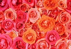 Blumenwandhintergrund mit dem Überraschen von roses1 Stockfotos