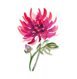 Blumenwatercolourdahlie Lizenzfreie Stockfotos