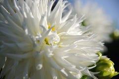 Blumenweißchrysantheme Stockfoto