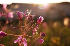 Blumenweidetee auf dem Hintergrund des Feldes stockfotos