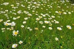 Blumenwiese Stockfoto